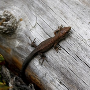 Lizard on tree trunk