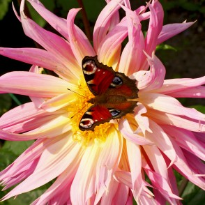 European peacock on dahlia