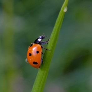Ladybird and Dew Drops