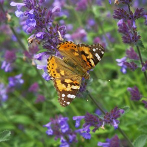 Painted lady On Catnip Flowers