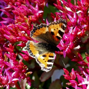 Small tortoiseshell on Flower