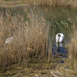 Mute swans in Igate's Gravel-pit