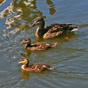 Mallard with new ducklings