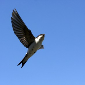 House martin in flight