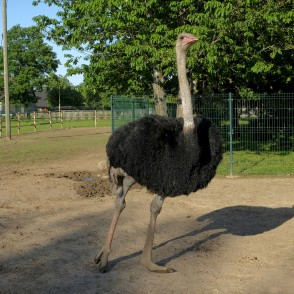 Common ostrich In Dundaga Exotic Animal Zoo