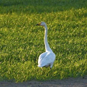 Whooper Swan on a Meadow