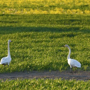 Whooper Swans on a Meadow