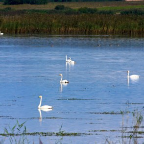 Swans in pond (panorama)
