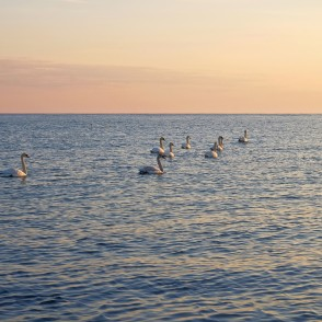 Swans In The Sea, Morning
