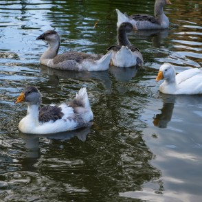 Domestic geese swimming