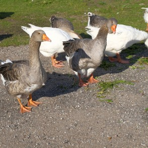 Group of Geese in the Yard