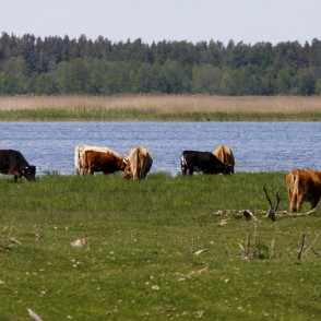 Wild cows in Lake Engure Nature Park