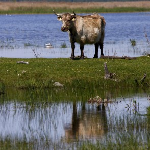 Wild cow and reflection