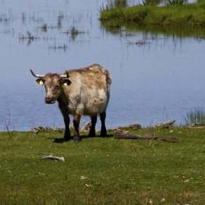 Wild cow in Lake Engure Nature Park
