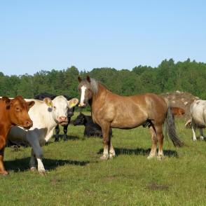 Cows And Horse On Pasture