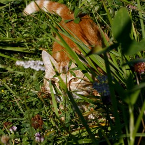 Cat Hides in Grass